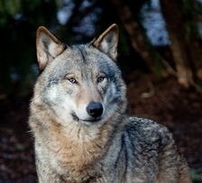 Wisdom KEEPERS EXPLAINED in Spirit of The Wolf