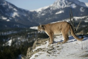Wisdom KEEPERS EXPLAINED in Cougar Mountain Lion as the master of stealth